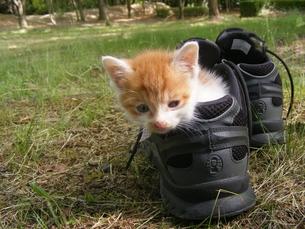 クツの中がお気に入りの子猫の写真素材 [FYI00175240]