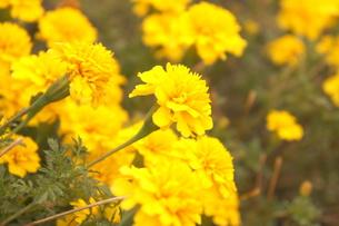 黄色いカーネーションの写真素材 [FYI00175334]