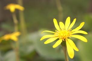 黄色い花の写真素材 [FYI00175341]