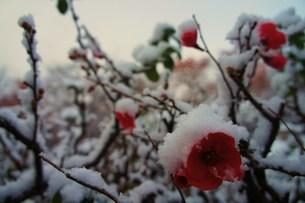 寒椿 雪の写真素材 [FYI00175347]