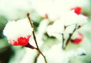 雪に耐える小枝の写真素材 [FYI00175375]