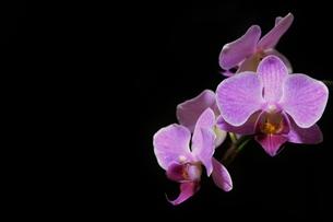 胡蝶蘭の写真素材 [FYI00175436]