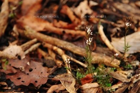 白い小さな草花の素材 [FYI00175446]