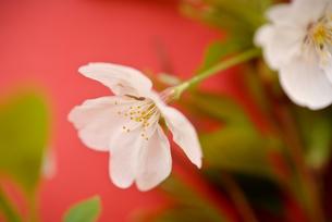 桜の写真素材 [FYI00175543]