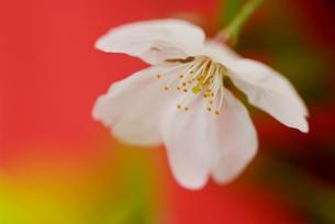 桜の写真素材 [FYI00175546]