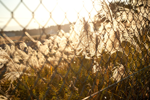 フェンス越しのススキの写真素材 [FYI00175597]