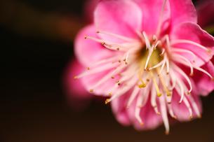梅の写真素材 [FYI00175635]