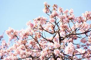 梅の木の写真素材 [FYI00175651]