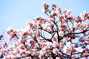 梅の木の写真素材 [FYI00175655]
