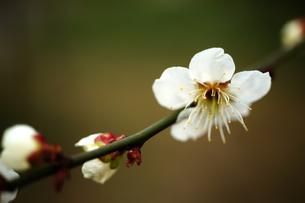 梅の花の写真素材 [FYI00175697]