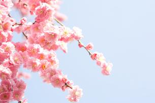 梅の花の写真素材 [FYI00175702]
