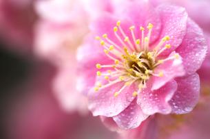 梅の花の写真素材 [FYI00175704]