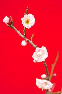 梅の花の写真素材 [FYI00175709]