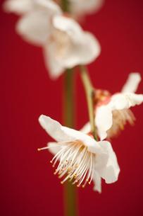 梅の花の写真素材 [FYI00175710]