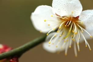 梅の花の写真素材 [FYI00175714]