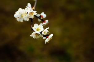 梅の花の写真素材 [FYI00175715]