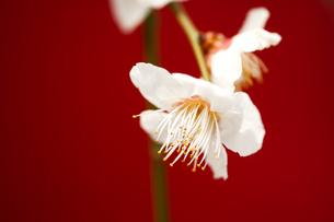 梅の花の写真素材 [FYI00175720]