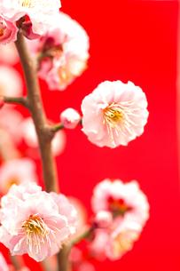 梅の花の写真素材 [FYI00175724]