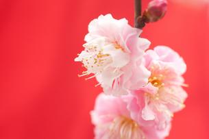 梅の花の写真素材 [FYI00175727]