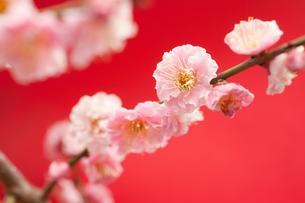 梅の花の写真素材 [FYI00175733]