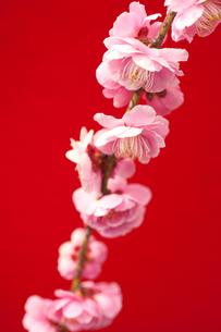 梅の花の写真素材 [FYI00175734]
