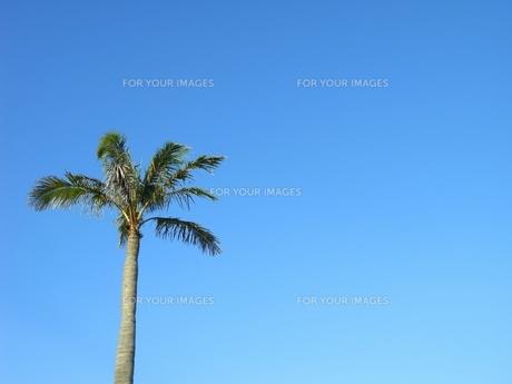 青い空とヤシの木の素材 [FYI00175870]