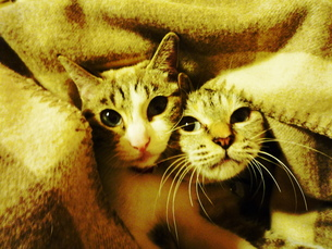 猫姉妹1の素材 [FYI00175947]