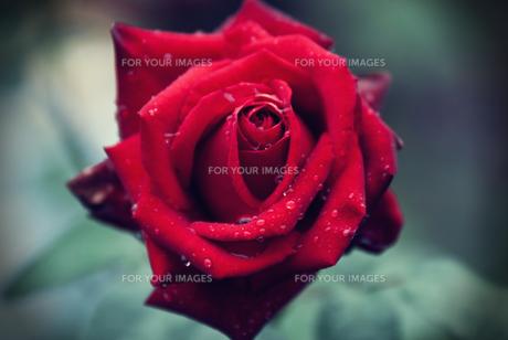 レトロ薔薇の素材 [FYI00175948]