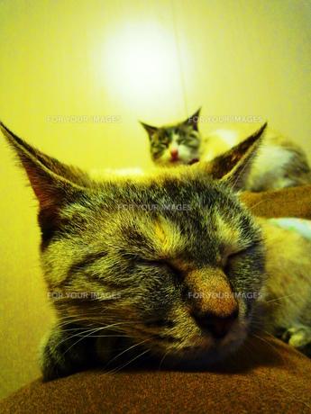 猫姉妹のうたたねの素材 [FYI00175966]