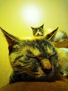 猫姉妹のうたたねの写真素材 [FYI00175966]
