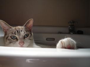 シンク猫の写真素材 [FYI00175985]