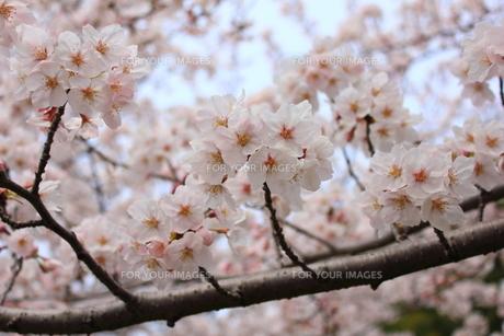 桜の写真素材 [FYI00175996]