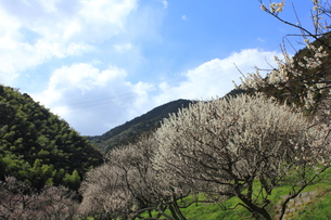 北九州市 三岳梅林公園の写真素材 [FYI00176091]