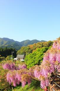 北九州市 河内藤園の写真素材 [FYI00176327]