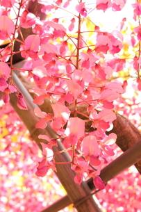 北九州市 河内藤園の写真素材 [FYI00176337]