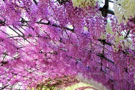 北九州市 河内藤園の写真素材 [FYI00176341]