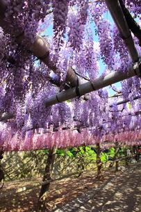 北九州市 河内藤園の写真素材 [FYI00176342]