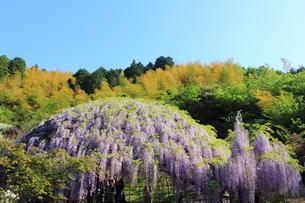 北九州市 河内藤園の写真素材 [FYI00176345]