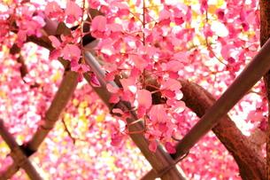 北九州市 河内藤園の写真素材 [FYI00176347]