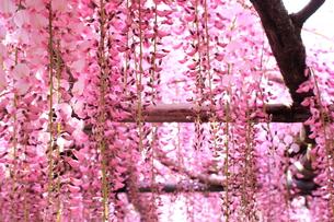北九州市 河内藤園の写真素材 [FYI00176352]