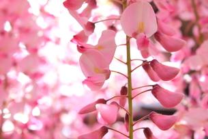北九州市 河内藤園の写真素材 [FYI00176353]