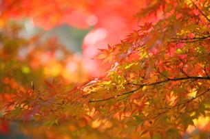 秋のお陽様にあたる紅葉の素材 [FYI00176363]