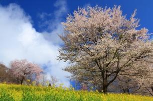 菜の花と桜3の写真素材 [FYI00176384]