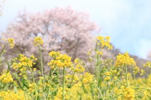 菜の花畑の写真素材 [FYI00176385]