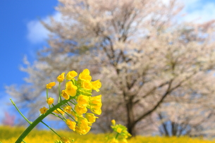 春の草花の素材 [FYI00176387]