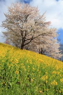 菜の花と桜4の写真素材 [FYI00176406]