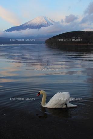 白鳥と富士の写真素材 [FYI00176409]