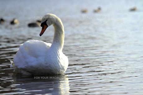 白鳥の写真素材 [FYI00176420]