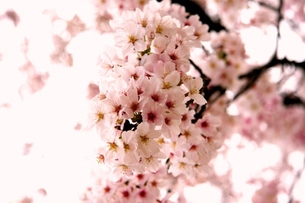 桜満開の写真素材 [FYI00176510]
