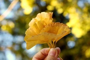 2011秋 いちょうの葉の写真素材 [FYI00176516]